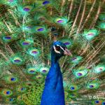 Essay on national bird peacock in hindi