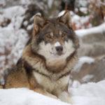Lamb and wolf story in hindi
