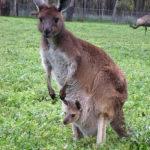 Short essay on kangaroo in hindi