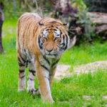 Poem on tiger in hindi