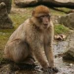 Essay on monkey in hindi