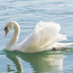 Essay on Swan Bird in Hindi Language