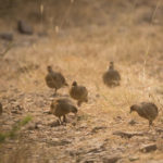 Essay on Teetar Bird in Hindi
