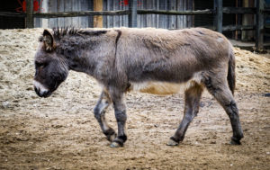 Essay on Donkey in Hindi
