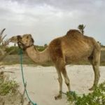 essay on camel in hindi