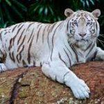 Save tiger essay in hindi