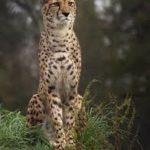Essay on cheetah in hindi