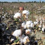 Autobiography of cotton in hindi