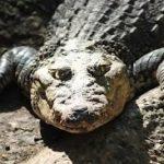 essay on crocodile in hindi language