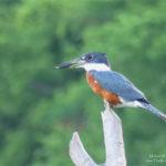 kingfisher bird essay in hindi