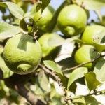 essay on lemon tree in hindi