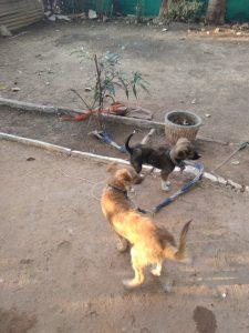 Rocky aur sheru two dog loyalty story