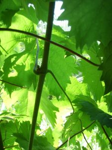 Autobiography of vine leaves in hindi